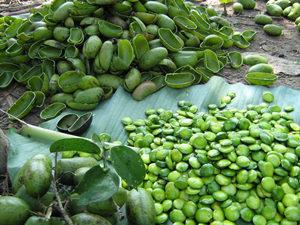 5-HTP wird aus den Samen der Pflanze Griffonia extrahiert